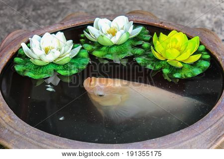 White tilapia fish in a little pond with water lily.