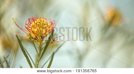 Condolence card sad occasion background with Australian flora theme and space for greeting