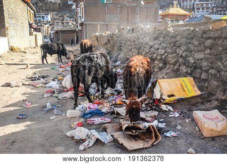Leh India - April 28 2017 : Street Cows eating trash in Leh Ladakh Jammu India
