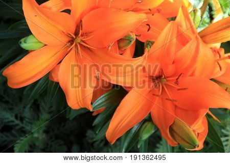 Horizontal image of bright and colorful tiger lilies, a gardener's favorite.