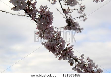 Beautiful image of cherry blossoms on branch of tree, with cloudy skies beyond.