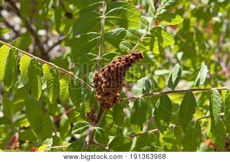 Leaves and fruits of Elm-leaved sumach Rhus coriaria. The dried fruits are used as a spice and the leaves and bark used in tanning