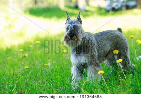 the dog breed miniature schnauzer on a green grass