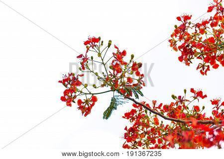 Caesalpinia pulcherrima Flame Tree flower isolated on white background.