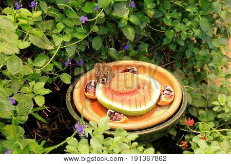 Large clay bowl with food for butterflies that land on the edge to enjoy.