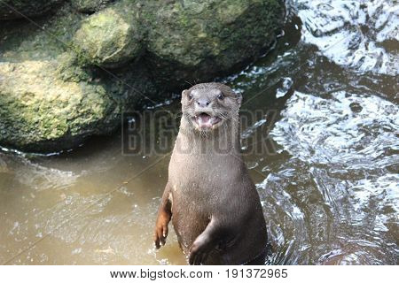 A Standing River Otter in Arignar Anna Zoological Park,Chennaj,India. Many of the River Otters can swim at an average speed of seven miles per hour. They are three to four feet long and usually weigh 15 to 25 pounds at an average.