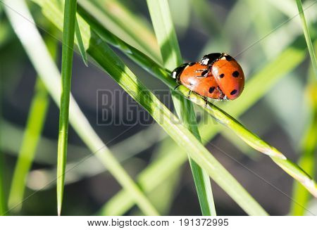 Two Ladybirds Together On A Leaf