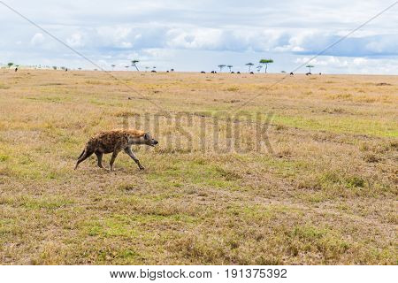 animal, nature and wildlife concept - hyena hunting in maasai mara national reserve savannah at africa