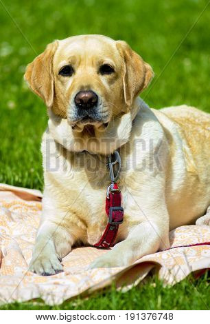 Labrador. Smiling labrador dog. Labrador dog outdoors