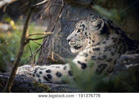An adult snow leopard rests in the the undergrowth but keeps a watchful eye on her surroundings.