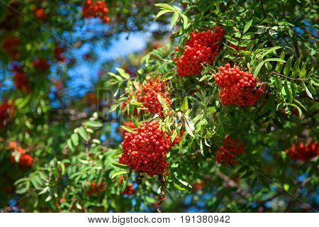 Beautiful red Rowan berries. A Sunny autumn day. The ripe fruits. The bright green leaves. Blue sky in the background. Blurred the background. The rural nature