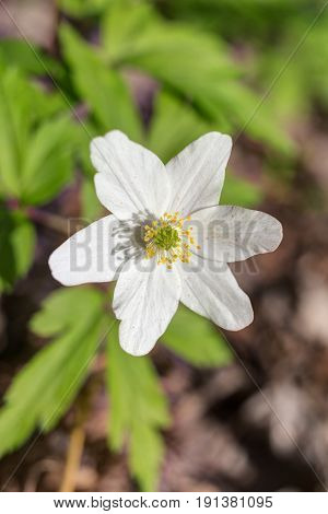 Anemone in the woods in the spring closeup