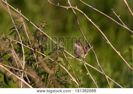 Juvenile Common Whitethroat (sylvia Communis) Perched On Branch In Farmland