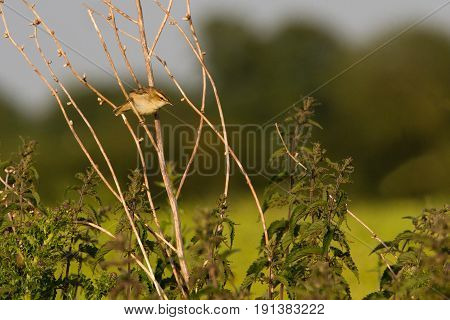 Willow Warbler (phylloscopus Trochius) Bird Perched On Branch