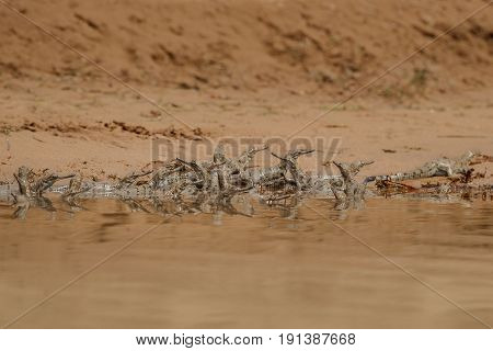 Indian gharial in the chambal river, criticaly endangered animal, river crocodile, Gavialis gangeticus, very rare