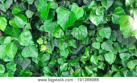American Ivy colored green & garden plant
