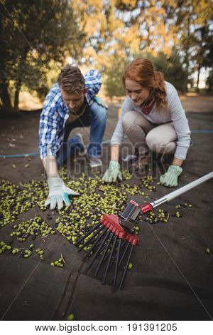 Young man and woman picking olives at farm