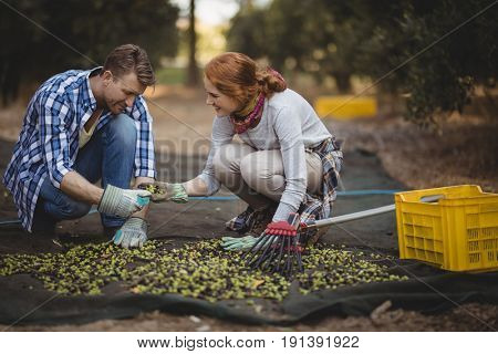 Happy young couple working at olive farm