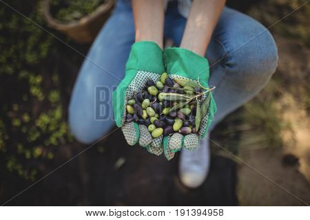 Mid section of woman showing olives while crouching at farm
