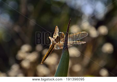 Isolated small dragonfly, perched in equilibrium on agave tip
