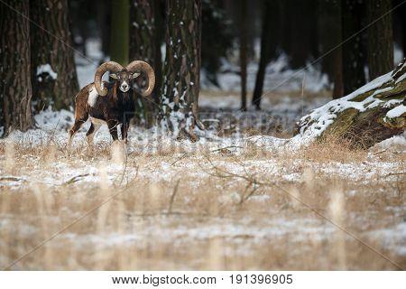 Big european moufflon in the forest,wild animal in the nature habitat, Czech Republic, Ovis orientalis orientalis
