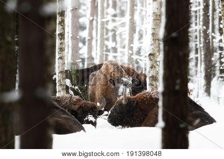 European bison herd in the beautiful white forest during winter time, bison bonasus, european animals, prehistoric creature, zidlov nature reserve in czech republic