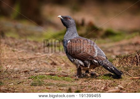 Beautiful wild capercaillie in the nature habitat in the forest, european nature, czech republic wildlife, great birding story, young male, very rare sightings during mating time