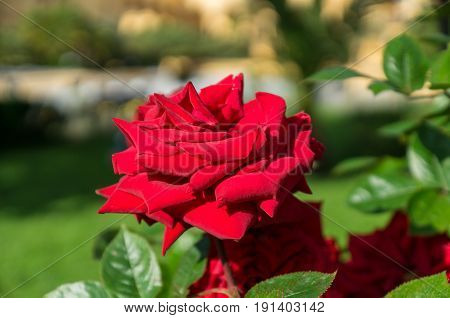 Beautiful red rose flower on a brunchin the garden close up horizontal day light selective focus.