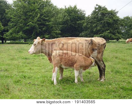 White and light brown muddy cow with calf. Both with yellow ear tags stood in a grass field with trees behind. Calf has been recently suckling.