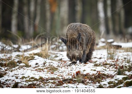 Wild boar male in the forest, wild animal in the nature habitat, Czech Republic