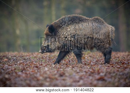 Wild boar male in the forest. Wild animal in the nature habitat. Czech Republic.