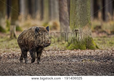 Wild boar male in the forest. the wild animal in the natural habitat. The Czech Republic.