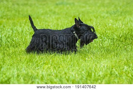Scotch Terrier. Scotch Terrier posing on the green grass in the park. Scotch terrier breed dog