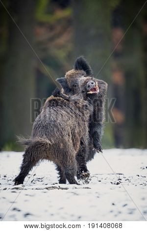 Two big wild boar males fighting in the european forest/wild animal in the nature habitat/Czech Republic