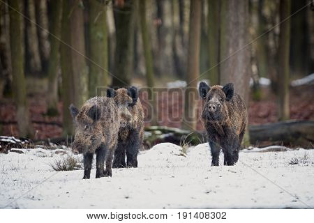 Wild boar family in the forest/wild animal in the nature habitat/Czech Republic