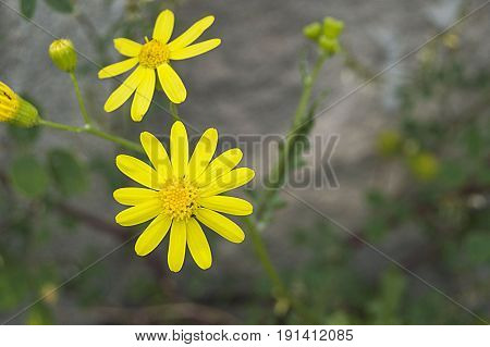 Daisy flowers, pictures of daisy flowers for lovers day, the most wonderful natural daisies for web design