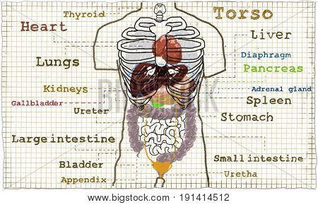 Torso anatomy illustration of the inner organs glands and guts
