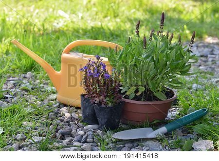 Still life with purple sage plant, blue flowers, watering can and small spade in the garden. Vintage planting flowers concept