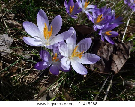 Two blue crocuses on the flower bed