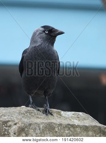 jackdaw perched on a rock against blue background