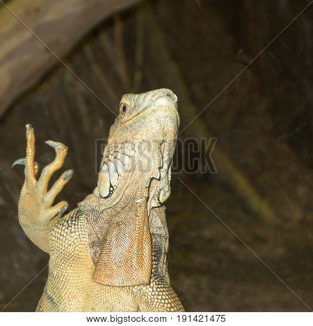 Green Iguana standing and showing its claws Central and South America