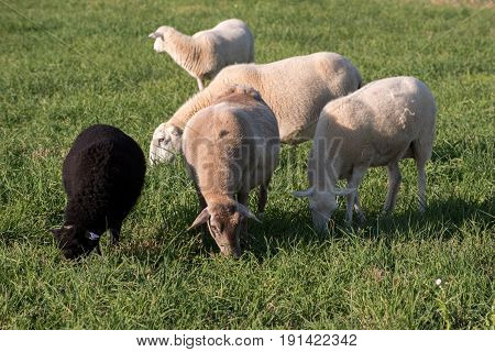 Ewes and lambs in a grassy field.