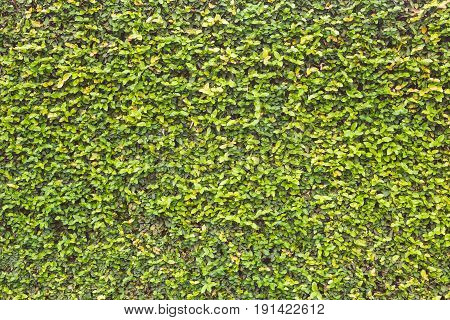 Abstract Green Wall Of Ivy Or Wall Plant For Background