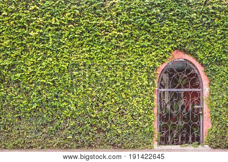 Abstract Green Wall Of Ivy Or Wall Plant And Metal Door