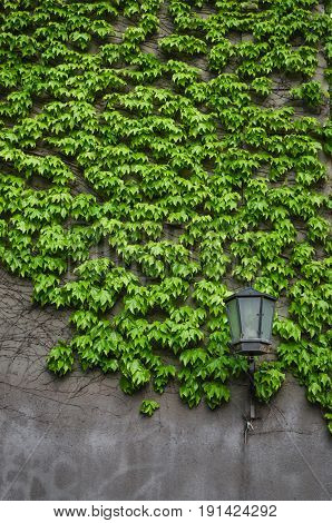 Natural Ivy Growth By Green Wall Of Leaves. Classical Lantern Stay Alone Near Wall