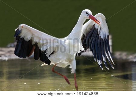 Survival of the fittest. Injured wild bird with damaged wing. White stork (Ciconia ciconia). Animal survivor.