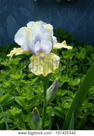 Single do-colored iris on the flower bed
