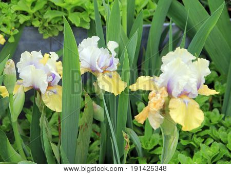 Three colorful irises on the flower bed