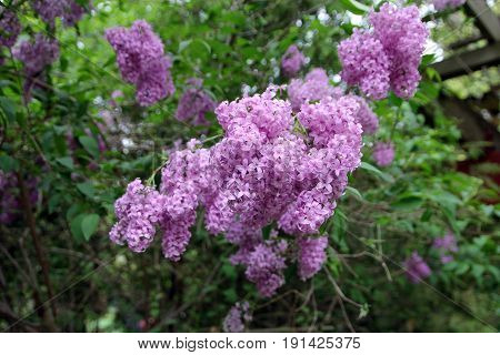 The purple bunch of blooming lilac bush