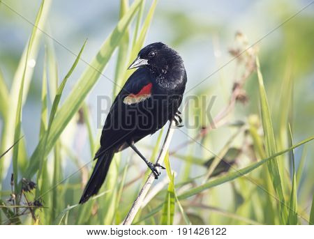 Red-Winged Blackbird male perching